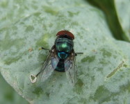 Blow fly adult (Pic B20)