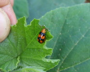 Four spotted leaf beetle (Pic F41)