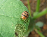Cucurbit beetle with damage pumpkin leaf (Pic C60)