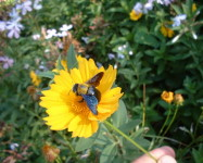 Carpenter bee (adult) on flower (Pic C30)