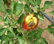 Alternaria rot on pepper (A13)